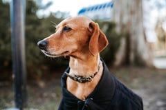Osamotniony zaniechany bezdomny głodny przybłąkany pies z żal twarzy obsiadaniem na ulicie w zimnie weared błaga dla jedzenia w j obrazy royalty free
