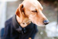 Osamotniony zaniechany bezdomny głodny przybłąkany pies z żal twarzy obsiadaniem na ulicie w zimnie weared błaga dla jedzenia w j obraz stock