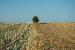 Osamotniony zielony drzewo, koszący pola, horyzont i bezchmurny niebo, zdjęcia royalty free