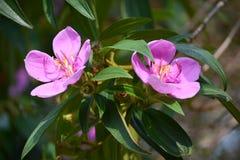 2 Osbeckia-bloem Royalty-vrije Stock Afbeelding