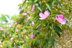 Osbeckia-Blume Lizenzfreies Stockfoto