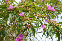 Osbeckia-Blume Stockfoto