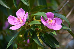 2 Osbeckia Blume Lizenzfreies Stockbild