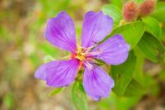 Osbeckia-stellata Schinken Lizenzfreies Stockbild