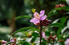 Osbeckia-stellata Schinken oder purpurrotes osbeckia, indischer Rhododendron tr Lizenzfreie Stockfotos