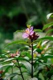 Osbeckia-stellata Schinken oder purpurrotes osbeckia, indischer Rhododendron tr Lizenzfreie Stockbilder