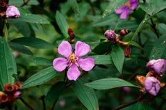 Osbeckia-stellata Schinken oder purpurrotes osbeckia, indischer Rhododendron tr Stockbild