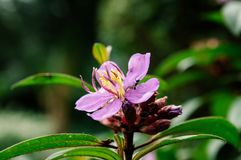Osbeckia-stellata Schinken oder purpurrotes osbeckia, indischer Rhododendron tr Stockfotografie