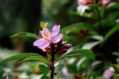 Osbeckia-stellata Schinken oder purpurrotes osbeckia, indischer Rhododendron tr Stockfotos