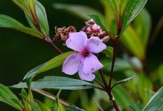 Osbeckiabloem (Osbeckia-stellata) Stock Foto's