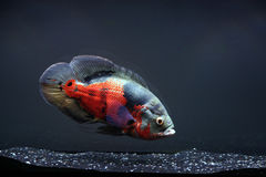 Oscar. 14 Inch Oscar, swimming in a 55 Gallon tank Stock Image