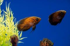 Oscar Astronotus ocellatus aquarium fish. Clouse up royalty free stock image