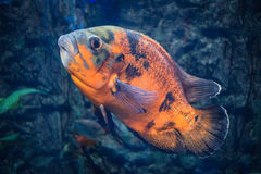 Oscar astronotus ocellatus - big beautiful black-orange fish Royalty Free Stock Photo
