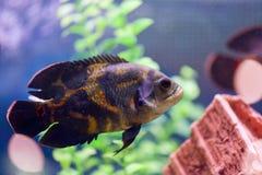 Oscar Astronotus ocellatus macro. Fish astronaut swims in a transparent aquarium. With a beautiful design stock photo