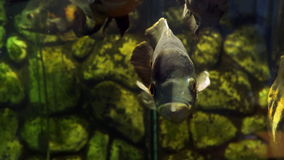 The oscar Astronotus ocellatus stock video