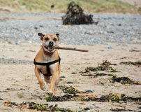 Oscar at the beach Royalty Free Stock Photo