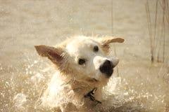Oscar che scuote acqua fuori Fotografie Stock Libere da Diritti