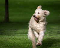 Labradoodle  Stock Photos