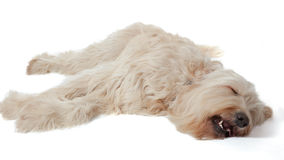 Labradoodle  Stock Image