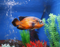 Oscar fish. In colorful aquarium tank Stock Images