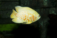 Oscar Fish Royaltyfri Fotografi