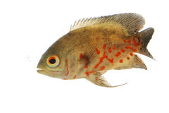 Oscar Fish. (Astronotus ocellatus) on white background Royalty Free Stock Image