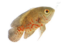 Oscar Fish. (Astronotus ocellatus) on white background Stock Image