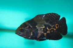 Oscar fish in Aquarium Royalty Free Stock Images