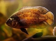 Oscar fish (Astronotus ocellatus). Swimming underwater royalty free stock photo