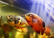 Oscar fish (Astronotus ocellatus). Swimming underwater royalty free stock photography