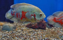 Oscar fish Astronotus ocellatus. In Aquarium royalty free stock photo