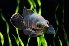 Oscar fish Astronotus ocellatus. Black tiger Oscar fish Astronotus ocellatus in aquarium royalty free stock photo