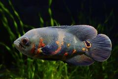 Oscar fish Astronotus ocellatus. Black tiger Oscar fish Astronotus ocellatus in aquarium stock photos