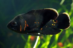 Oscar fish Astronotus ocellatus. Black tiger Oscar fish Astronotus ocellatusin aquarium stock images