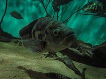 Oscar Fish Astronotus ocellatus. Fishes on the Public Municipa. L aquarium of the city of Toledo, in the Brazilian state of Parana royalty free stock image