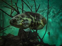 Oscar Fish Astronotus ocellatus. Fishes on the Public Municipa. L aquarium of the city of Toledo, in the Brazilian state of Parana royalty free stock images