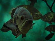 Oscar Fish Astronotus ocellatus. Fishes on the Public Municipa. L aquarium of the city of Toledo, in the Brazilian state of Parana stock photography
