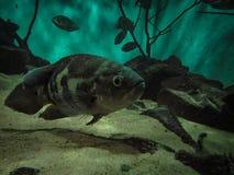 Oscar Fish Astronotus ocellatus. Fishes on the Public Municipa. L aquarium of the city of Toledo, in the Brazilian state of Parana royalty free stock photos