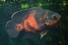 Oscar fish Astronotus ocellatus. Fresh water fish stock images