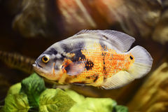 Oscar fish, Astronotus ocellatus, marble fish Royalty Free Stock Images
