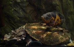 Oscar fish Astronotus ocellatus and mata mata Chelus fimbriata. Oscar fish Astronotus ocellatus swimming over the mata mata Chelus fimbriata royalty free stock images