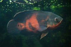 Oscar fish Astronotus ocellatus. Fresh water fish stock photos