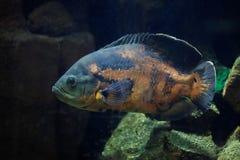 Oscar fish Astronotus ocellatus. Stock Image