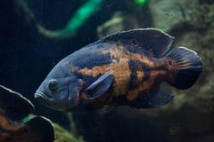 Oscar fish Astronotus ocellatus. Royalty Free Stock Photo