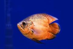 Oscar fish (Astronotus ocellatus) swimming Stock Photos