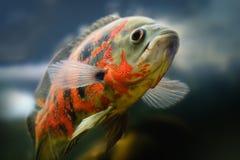 Oscar fish Astronotus ocellatus swimming underwater. Aquarium stock photo