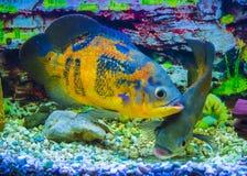 Oscar fish Astronotus ocellatus swimming underwater stock images