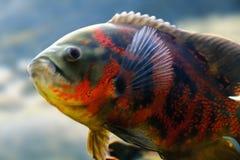 Oscar fish Astronotus ocellatus swimming underwater. Aquarium stock image