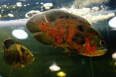 Oscar fish Astronotus ocellatus swimming underwater. Aquarium royalty free stock images