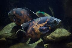 Oscar fish Astronotus ocellatus. Royalty Free Stock Photography